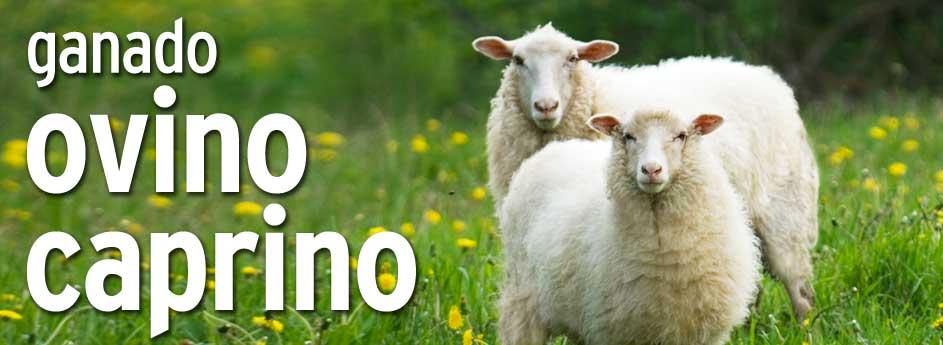 Ovino / Caprino